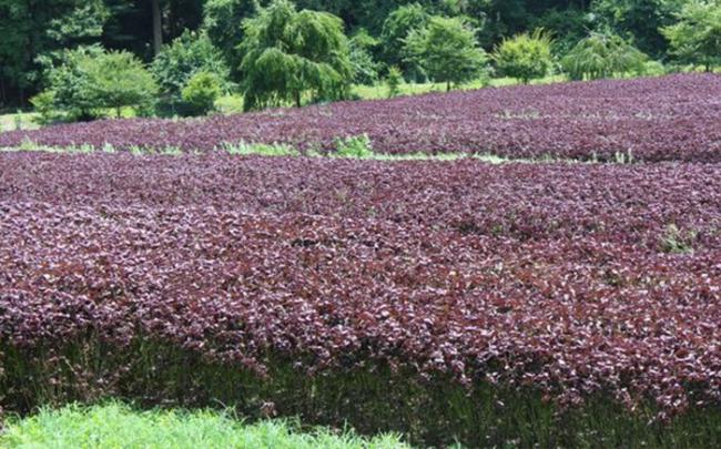 Akina Đông Á đầu tư phát triển cây tía tô Nhật Bản chất lượng cao