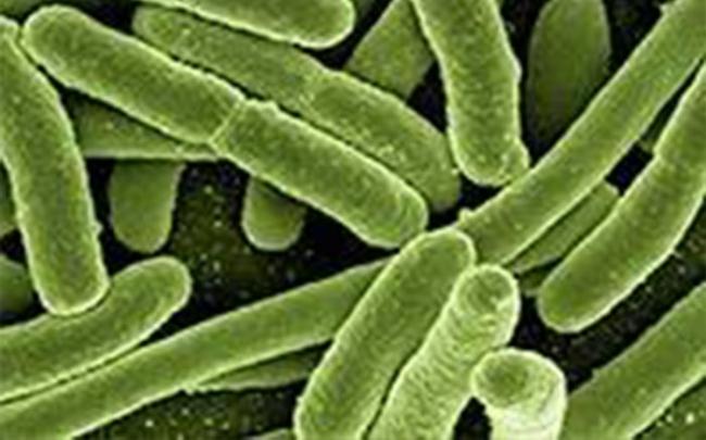 Dùng vi khuẩn E.coli làm keo dán chữa lành vết thương ruột